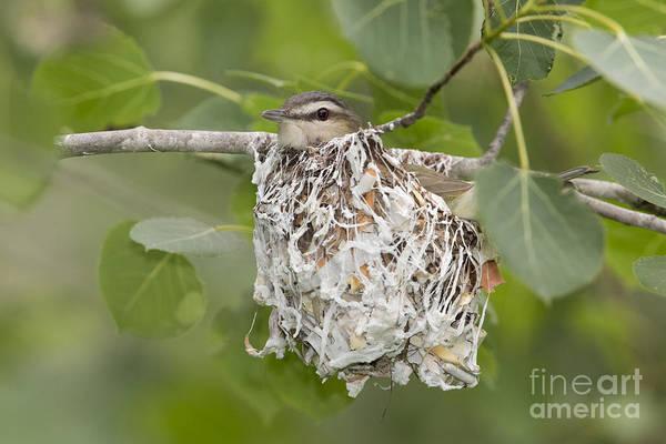 Red eyed vireo nest - photo#44