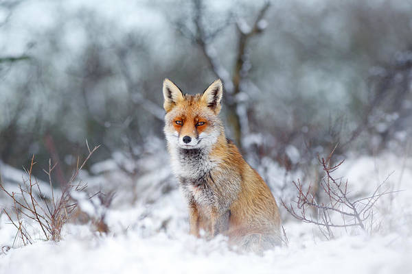 Fox Art Print featuring the photograph Red Fox Blue World by Roeselien Raimond