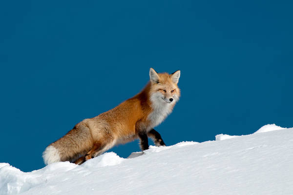 Red Fox Art Print featuring the photograph Red Fox by Gary Beeler