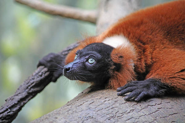 Red-ruffed Lemur Print featuring the photograph Red-ruffed Lemur by Karol Livote