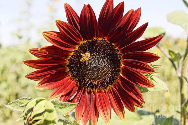 Agriculture Art Print featuring the photograph Red Sunflower And Bee by Kerri Mortenson