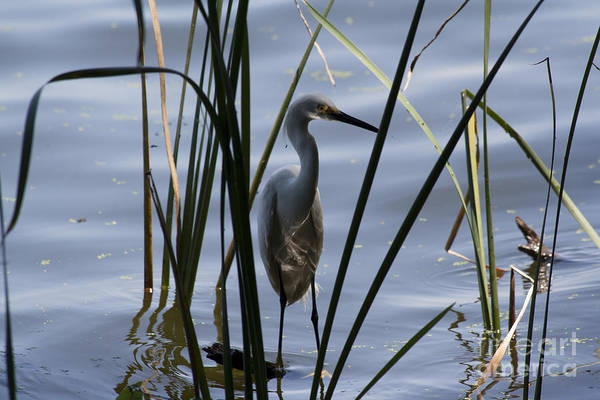 Water Birds Art Print featuring the photograph Reflections by Kristy Ollis