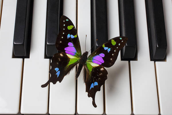 Butterfly Art Print featuring the photograph Resting On The Piano by Garry Gay