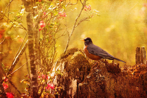 Robins Art Print featuring the photograph Robin In Spring by Peggy Collins