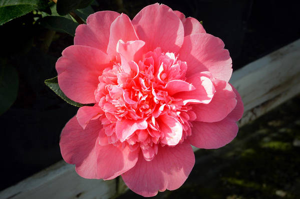 Camellia Flower Art Print featuring the photograph Ruffles In Pink. by Terence Davis
