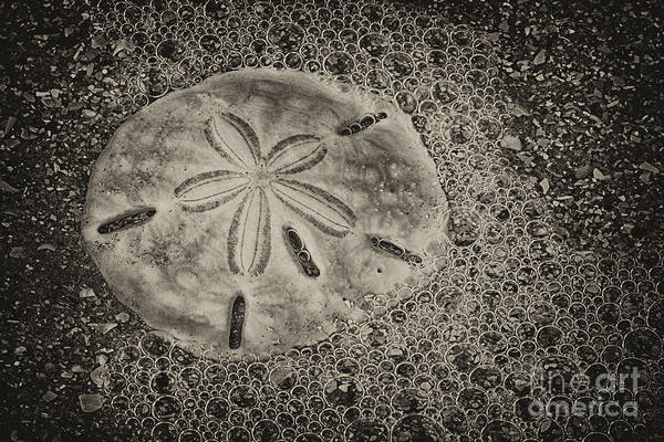 Sand Dollar Art Print featuring the photograph Sand Dollar 3 Black And White Botany Bay by Carrie Cranwill