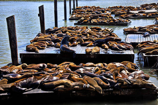 Sea Lions Animal Mammal Sea Life Rest Resting Art Print featuring the photograph Sea Lions At Pier 39 by Garry Gay