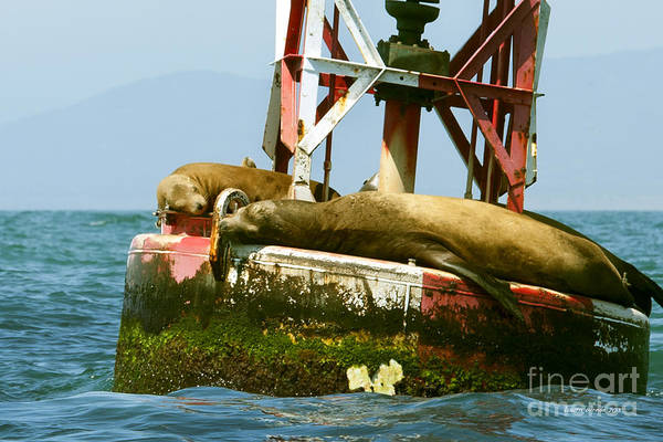 Sea Lions Art Print featuring the photograph Sea Lions Floating On A Buoy In The Pacific Ocean In Dana Point Harbor by Artist and Photographer Laura Wrede