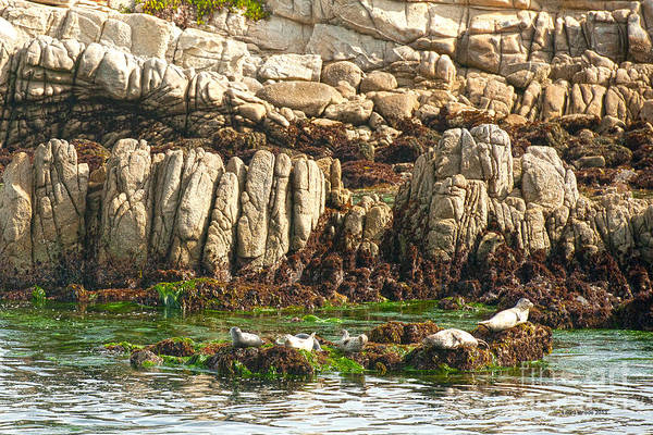 Sea Lions In Monterey Bay Art Print featuring the photograph Sea Lions In Monterey Bay by Artist and Photographer Laura Wrede