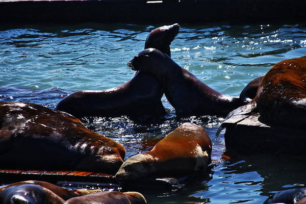 San Francisco Art Print featuring the photograph Sea Lions In San Francisco Bay by Aidan Moran