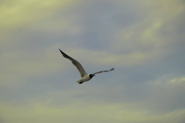 Seagull Art Print featuring the photograph Seagull Soaring by Bill Cannon