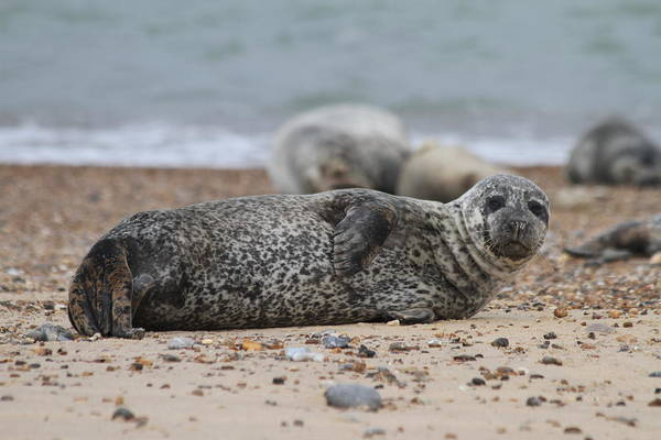 Seal Art Print featuring the photograph Seal Pup On Beach by Gordon Auld