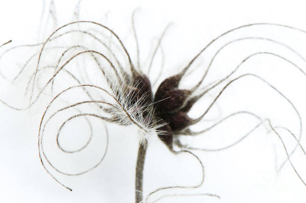 Botanical Art Print featuring the photograph Seeds by Anne Gilbert