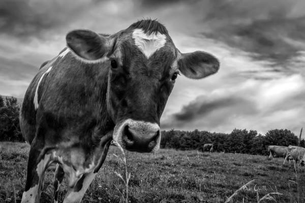 Cows Art Print featuring the photograph She Wears Her Heart For All To See by Bob Orsillo