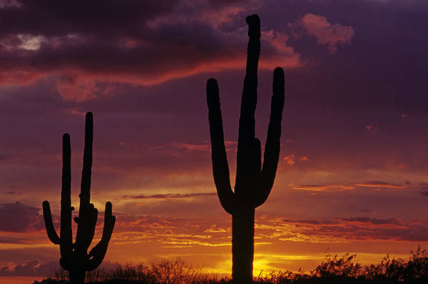 American Southwest Art Print featuring the photograph Silhouetted Saguaro Cactus Sunset Arizona State Usa by Jim Corwin