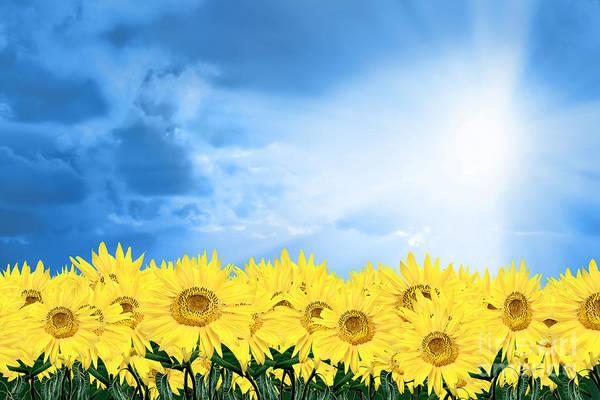 Sky Sunflower Art Print featuring the photograph Sky Sunflower by Boon Mee
