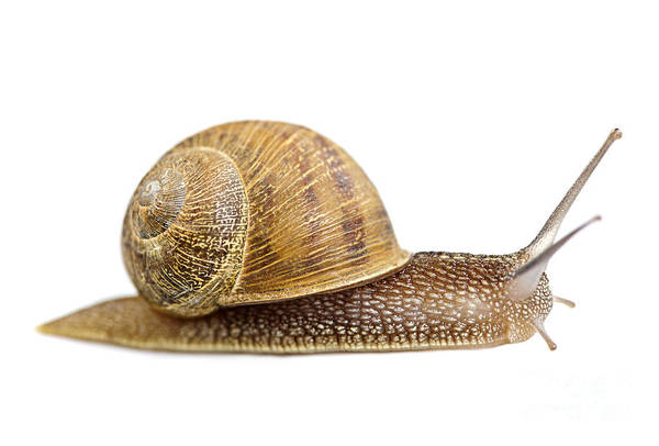 Snail Art Print featuring the photograph Snail by Elena Elisseeva