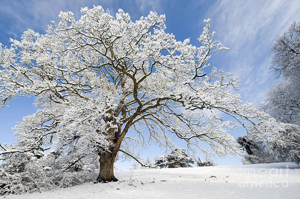 Christmas Art Print featuring the photograph Snow Covered Winter Oak Tree by Tim Gainey