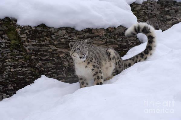 Snow Leopard Art Print featuring the photograph Snow Leopard by Sandra Bronstein
