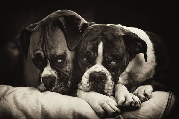 Boxer Art Print featuring the photograph Snuggle Bug Boxer Dogs by Stephanie McDowell