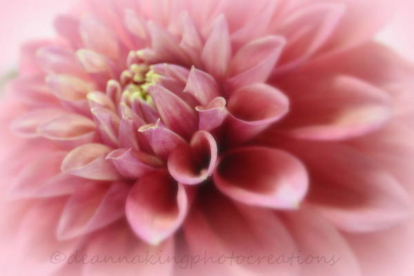 Pink Dalia's Art Print featuring the photograph Soft Pink Dalia by Deanna King