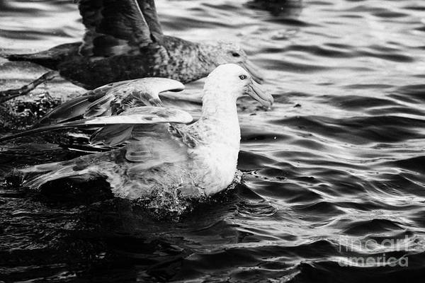 Flock Art Print featuring the photograph southern giant petrels in port lockroy Antarctica by Joe Fox