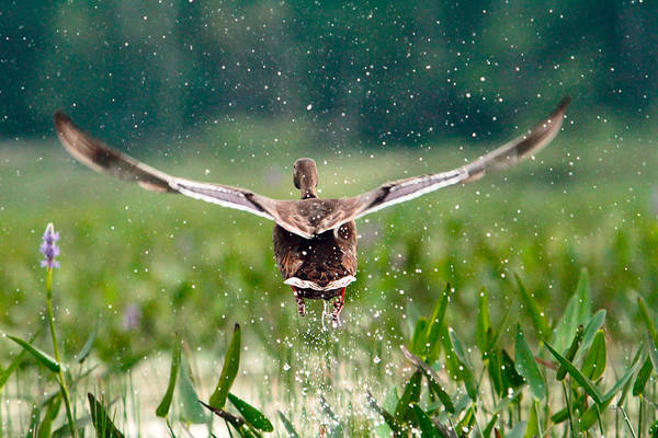 Duck Art Print featuring the photograph Splashy Take-off by Shell Ette