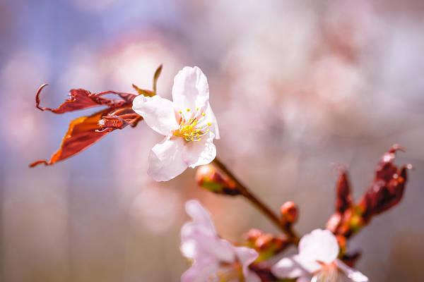 Sakura Art Print featuring the photograph Spring Breeze by Alexander Senin