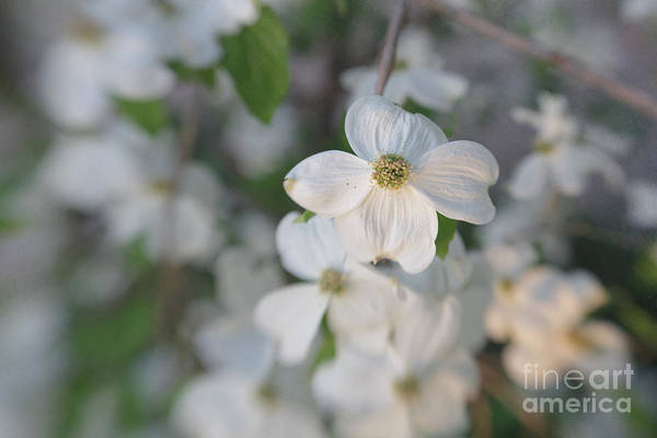 Dogwood Art Print featuring the photograph Spring Focus by Kay Pickens