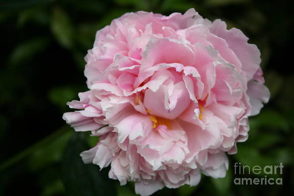 Peony Art Print featuring the photograph Spring In Pink by Christiane Schulze Art And Photography