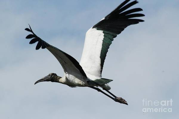 Wood Stork Art Print featuring the photograph Stork In Flight by Theresa Willingham