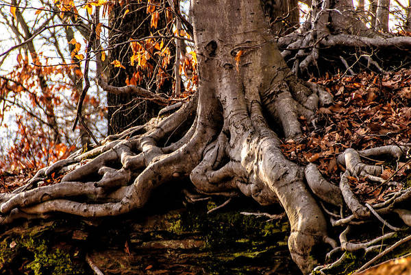 Mt.laurel Print featuring the photograph Strong Roots by Louis Dallara