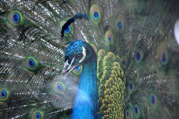 Peacock Art Print featuring the photograph Strutting by Lisa Kane