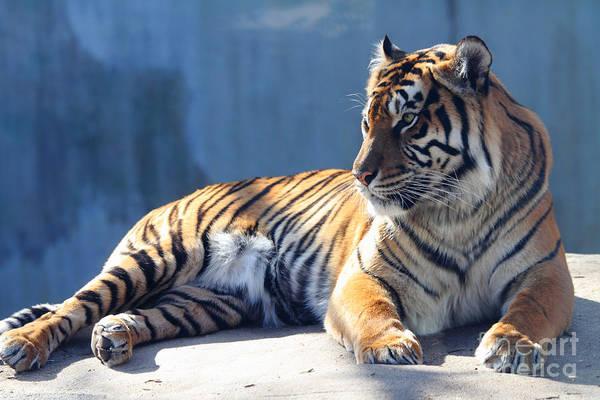 Tiger Art Print featuring the photograph Sumatran Tiger 7d27276 by Wingsdomain Art and Photography