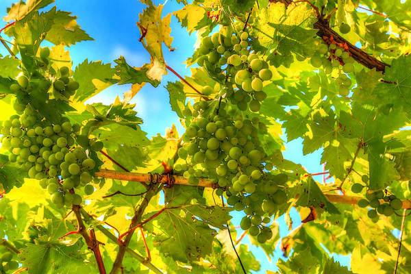 Growth Art Print featuring the photograph Sun Kissed Green Grapes by Eti Reid