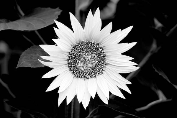 Sunflower Art Print featuring the photograph Sunflower by Bronislava Vrbanova