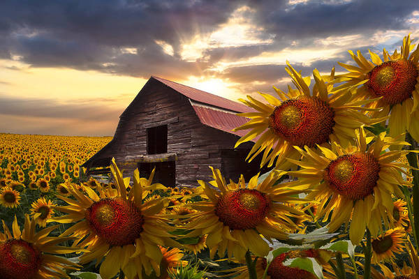 Barn Art Print featuring the photograph Sunflower Dance by Debra and Dave Vanderlaan