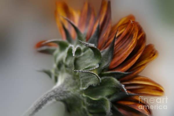 Aloha Print featuring the photograph Sunflower by Sharon Mau