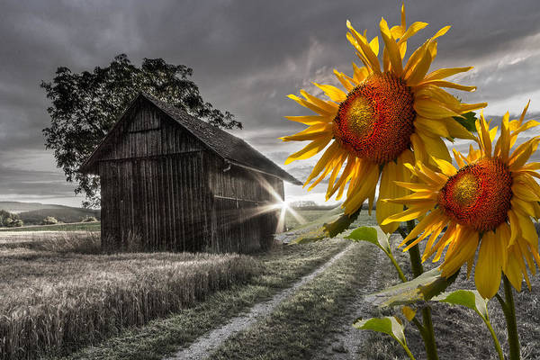 Appalachia Art Print featuring the photograph Sunflower Watch by Debra and Dave Vanderlaan