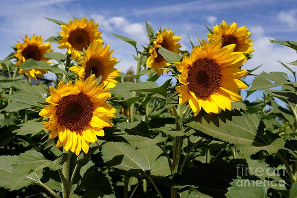 Agriculture Art Print featuring the photograph Sunflowers by Kerri Mortenson