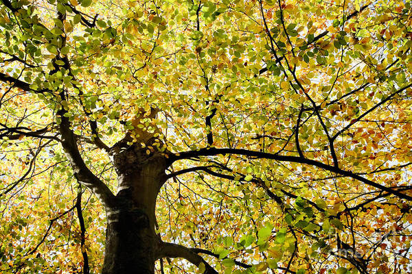 Botanical Art Print featuring the photograph Sunlit Autumn Tree by Natalie Kinnear