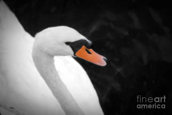 Swan Art Print featuring the photograph Swan Lake by Tracey Pearson Boyajian