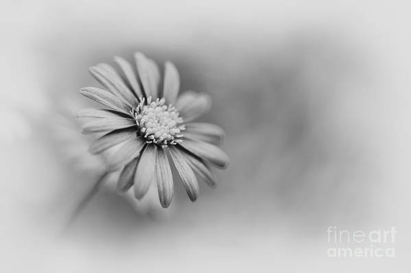 Swan River Daisy Art Print featuring the photograph Swan River Daisy Monochrome by Tim Gainey