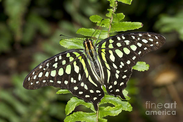 Tailed Jay Butterfly Art Print featuring the photograph Tailed Jay by Bryan Keil