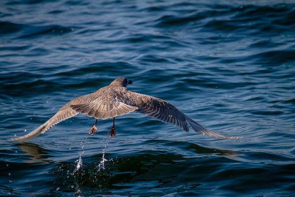 Ocean Pacific North West Bird Water Splash Wildlife Nature San Juan Island Friday Harbor Sailing Boat Art Print featuring the photograph Take Off by Nate Parks