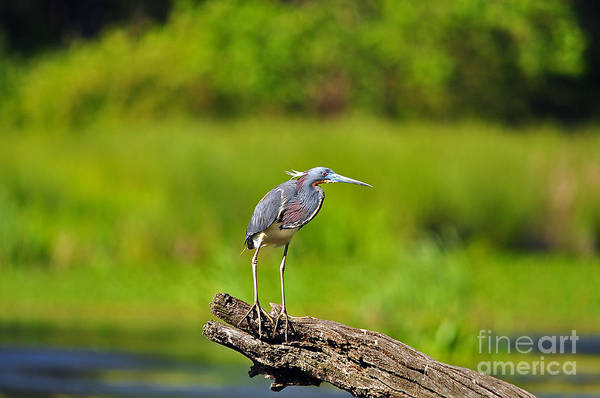 Heron Art Print featuring the photograph Tantalizing Tricolored by Al Powell Photography USA