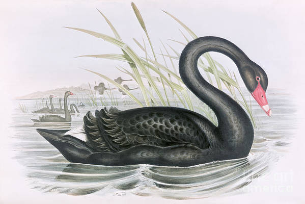 Black Swan Print featuring the painting The Black Swan by John Gould