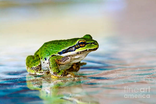 Animals Art Print featuring the photograph The Green Frog by Robert Bales