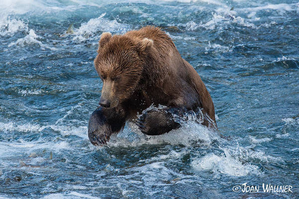 Alaska Art Print featuring the photograph The Grizzly Plunge by Joan Wallner