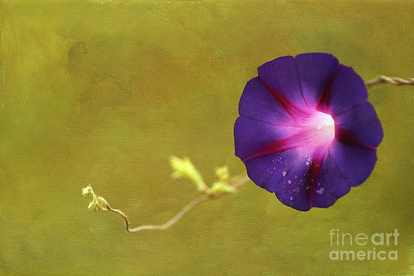 Painterly Print featuring the photograph The Morning Glory by Darren Fisher